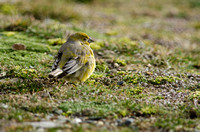 Patagonian Yellow-finch, Patagonia, Chile