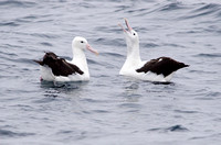 Courting Royal Albatross, Humboldt Current, Chile