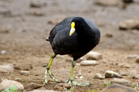 White-winged Coot, Chile
