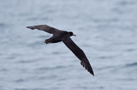 Northern Giant Petrel, Humboldt Current, Chile