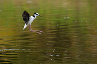 Black-necked Stilt, Chile