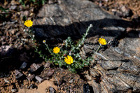 Common Wooly Sunflower (Eriophyllum lanatum) in the Morgan Fire burn zone near Rhine Canyon
