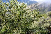 Mountain Mahogany (Cercocarpus betuloides) on North Peak, Mount Diablo State Park