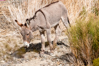 Burro, Surprise Canyon, Death Valley National Park