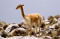 Vicuna, Lauca National Park, Chile