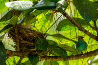 Bay-headed Tanager building nest