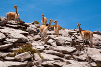 Vicunas, Lauca National Park, Chile