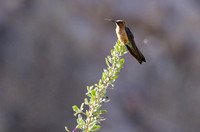 Andean Giant Hummingbird, Putre, Chile