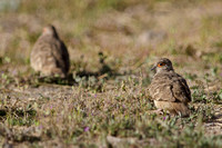 Bare-faced Ground-doves, Putre, Chile
