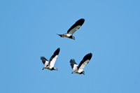Southern Lapwings at the Lampa Marshes near Santiago, Chile