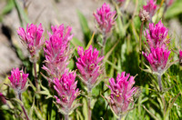 Lemmon's paintbrush (Castilleja lemmonii)