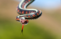 California Red-sided Garter Snake (Thamnophis sirtalis infernalis)