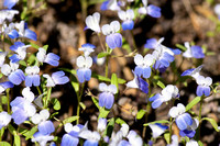 Blue-eyed Mary (Collinsia torreyi)
