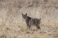12/13/2013 - Round Valley Bobcat