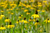 California coneflower (Rudbeckia californica)