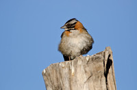 Rufous-collared Sparrow, Putre, Chile