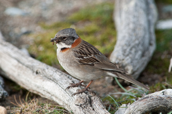 Rufous-collared Sparrow, Patagonia, Chile