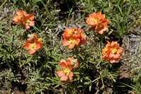 Scarlet Globemallow, Custer State Park, South Dakota