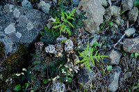 Sprouting Fern, Mount Diablo State Park