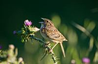 Grasshopper Sparrow, upper Curry Canyon