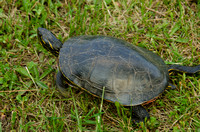 Gravid Female Painted Turtle