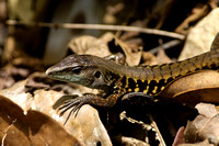 Whiptail Lizard sp.