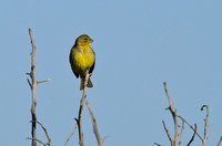 Grassland Yellow-Finch, Rio Maipo Estuary, Chile