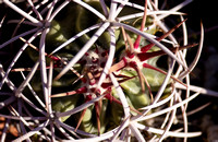 Clustered Barrel Cactus (Cotton-Top)
