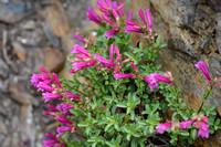 Mountain Pride (Penstemon newberryi)