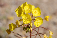Golden Evening Primrose (Chylismia brevipes )