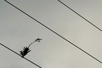 Epiphyte Growing on Power Lines
