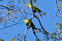 Austral Parakeets, Puyehue National Park, Chile