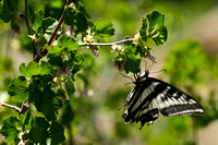 Pale Swallowtail on Wax Currant