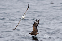 Kelp Gull harrassing Chilean Skua, Humboldt Current, Chile