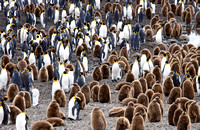Adult and Immature King Penguins