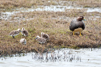 Flying Steamer Duck with chicks, Punta Arenas, Chile