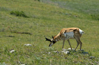 American Pronghorn, Custer State Park, South Dakota