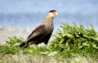 Southern Crested Caracara