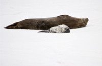 Adult and Juvenile Weddell Seals