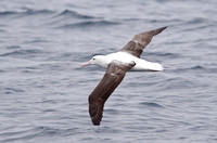 Royal Albatross, Humboldt Current, Chile