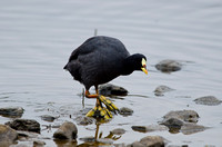 Red-gartered Coot, Chile