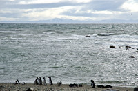 Magellanic Penguins on the beach in Patagonia
