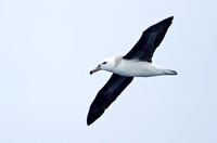 Black-browed Albatross, Humboldt Current, Chile