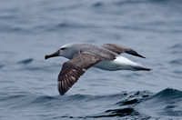 Salvin's Albatross, Humboldt Current, Chile