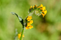 Common fiddleneck (Amsinckia intermedia)