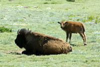 American Bison, Wind Cave National Park, South Dakota