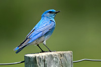 Mountain Bluebird, Custer State Park, South Dakota