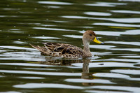 Yellow-billed Pintail, Chile