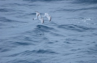 Antarctic Prions