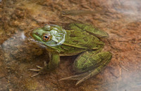 Ramsey Canyon Leopard Frog (Rana subaquavocalis)
